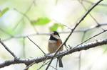 ヤマガラ:堺自然ふるさとの森;クリックすると大きな写真になります。