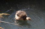 バンの幼鳥:和田川;クリックすると大きな写真になります。