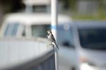ハクセキレイ:和田川;クリックすると大きな写真になります。