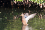 ハシビロガモ♀:摺鉢池;クリックすると大きな写真になります。