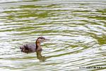 カイツブリ:梨本上池;クリックすると大きな写真になります。