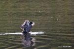 オオバン:内田池;クリックすると大きな写真になります。