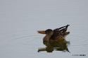 ハシビロガモ♀:尾美濃池;クリックすると大きな写真になります。