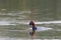 ホシハジロ:尾美濃池;クリックすると大きな写真になります。