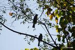 センダンの実にヒヨドリ:檜尾;クリックすると大きな写真になります。