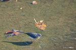 キセキレイ:甲斐田川;クリックすると大きな写真になります。