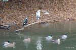 アオサギ・カワウ・マガモ・カルガモ:松池;クリックすると大きな写真になります。