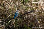 小魚をくわえたカワセミ:高野川;クリックすると大きな写真になります。