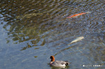 コイとヒドリガモ:高野川;クリックすると大きな写真になります。