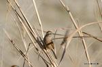ホオジロ♀:野々井;クリックすると大きな写真になります。