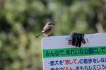 モズ:桃山台公園;クリックすると大きな写真になります。