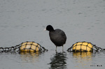 オオバン:狭山池;クリックすると大きな写真になります。