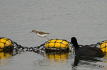 イソシギとオオバン:狭山池;クリックすると大きな写真になります。