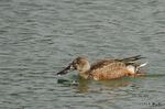 ハシビロガモ♀:狭山池;クリックすると大きな写真になります。