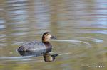 ホシハジロ♀:東谷池;クリックすると大きな写真になります。
