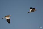 ケリの飛翔:大庭寺;クリックすると大きな写真になります。