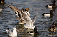 餌場に集まる水鳥たち;クリックすると大きな写真になります。