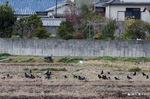冬の田に鴉の群れ;クリックすると大きな写真になります。