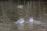 コガモ採食:高野川;クリックすると大きな写真になります。140202_002.jpg