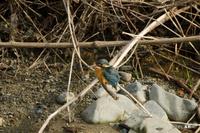 カワセミ:高野川;クリックすると大きな写真になります。