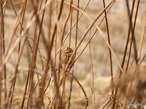 ホオジロ:野々井;クリックすると大きな写真になります。
