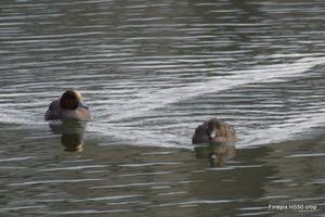 ヒドリガモ:田辺池;クリックすると大きな写真になります。