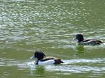 キンクロハジロ:尾美濃池;クリックすると大きな写真になります。