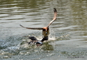 争うヒドリガモ:田辺池;クリックすると大きな写真になります。