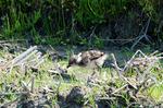 ケリの幼鳥:野々井;クリックすると大きな写真になります。