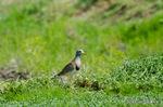 ケリ成鳥:野々井;クリックすると大きな写真になります。