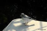 ムクドリ幼鳥:和田川;クリックすると大きな写真になります。