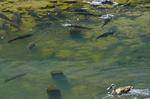 鯉とカルガモ:和田川