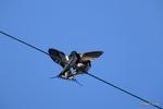 電線でじゃれあう?ツバメ:六甲山;クリックすると大きな写真になります。