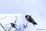 幼鳥を見守るオヤツバメ:慶沢園;クリックすると大きな写真になります。