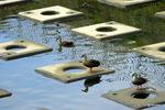 カルガモ:和田川;クリックすると大きな写真になります。
