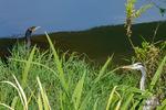 アオサギとカワウ:和田川;クリックすると大きな写真になります。