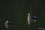 カルガモ:田辺池;クリックすると大きな写真になります。