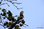 柿の木にコサメビタキ:高源寺(丹波);クリックすると大きな写真になります。