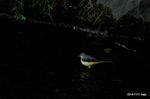 暗渠にキセキレイ:和田川;クリックすると大きな写真になります。