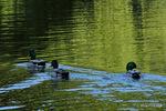 マガモ:東谷池;クリックすると大きな写真になります。