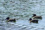 ハシビロガモ:尾美濃池;クリックすると大きな写真になります。