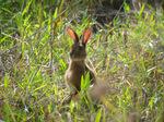 ノウサギ:蜂ヶ峯(堺);クリックすると大きな写真になります