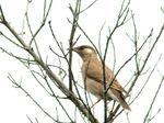 ムクドリの幼鳥:鉢ヶ峯;クリックすると大きな写真になります
