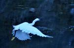 コサギの飛翔;クリックすると大きな写真になります