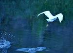 コサギの飛翔