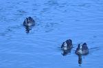 カルガモ:賀茂川;クリックすると大きな写真になります