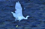 コサギの飛翔:賀茂川;クリックすると大きな写真になります