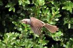 ヒヨドリの飛翔;クリックすると大きな写真になります