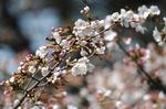 泉北西原公園:ソメイヨシノが開花:クリックすると大きな写真になります