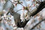 ソメイヨシノに吸蜜にきたヒヨドリ:クリックすると大きな写真になります